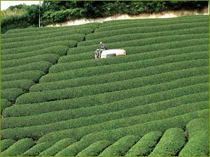 campos de té de sol de verano