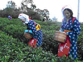 【プレスリリース】大人気!今年の茶摘み体験は六種類!!