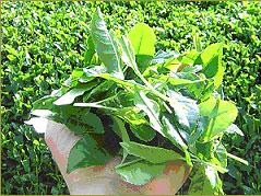 【プレスリリース】超レア!新茶をナマで。「生茶葉」のネット販売開始