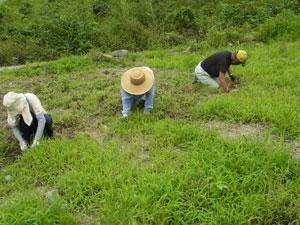 【8月1週の農作業】障害者支援センターあんの皆様と草引き。