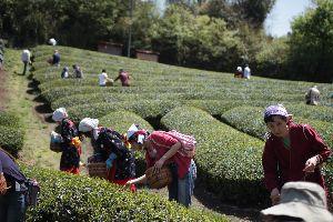 【プレスリリース】七夕茶摘みで夏の新茶を手作りしよう!