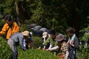 【報告】日本一の茶摘体験2012