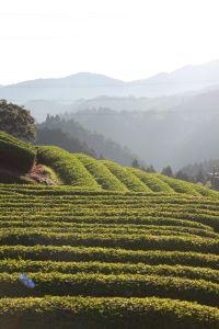 <!--:en-->( 2013) Tea Tour Registration is Now Open<!--:--><!--:ja-->「茶畑ツア-」もHPからの申込受付を開始しました!<!--:-->