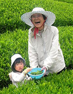 【イベント】夏の茶摘体験2019