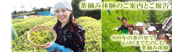 秋の茶摘&手もみ製茶体験のご案内